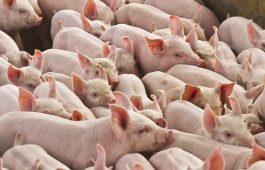 cena em granja de suínos em criação de animais em fazenda
